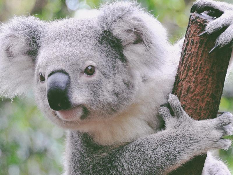 Koala_Feature